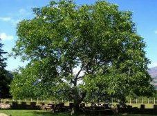 Ceviz Ağacı/Nazım Hikmet Ran (Hikâyesi İle)